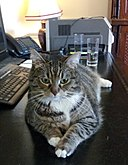 Freya the cat-20120615 132253 (cropped).jpg