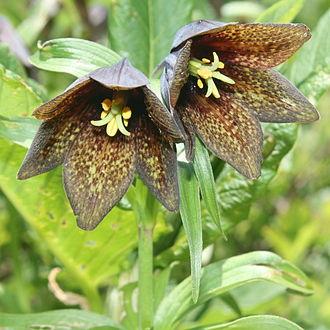 Fritillaria camschatcensis - Image: Fritillaria camschatcensis in Mount Haku 2011 07 17
