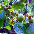 Fruits au Jardin botanique de Neuchâtel.jpg