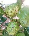 Fruits de noni au Bénin 02.jpg