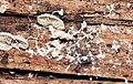 Fungus of Pleurotus genus attacked by slime mold.jpg
