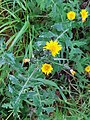GT Smooth Sow-Thistle.jpg