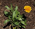 Gaillardia 'Oranges and Lemons' Leaves and Flower.jpg
