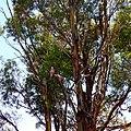 Galahs in tree, Trayning, 2014.JPG