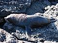 Galapagos Fur Seal.jpg