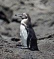 Galapagos Penguin (47725915562).jpg