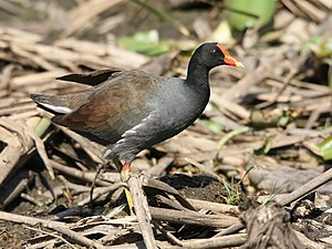 Common gallinule - Common gallinule