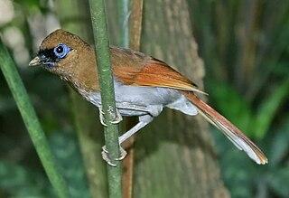 Buffy laughingthrush Bird in the family Leiothrichidae from China