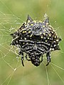 Gasteracantha cancriformis (Spinybacked orbweaver) - ventral view.jpg