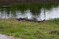 Gator FOF 05March2011 (14403840620).jpg