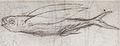 Gelderland1601-1603 Cypselurus sp2.jpg