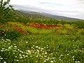 Gelincikler bahçesi - panoramio.jpg