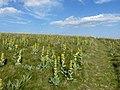 Gentiane jaune (Kastelberg).jpg