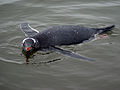 Gentoo Penguin Swimming.jpg