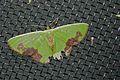 Geometrid Moth (Comibaena attenuata) (8537320667).jpg