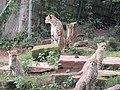 Gepard Nachwuchs im Zoo Landau - panoramio (2).jpg