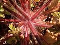 Geranium robertianum 2021-04-28 6074.jpg