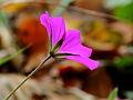 Geranium sanguineum locatie tuinreservaat Jonkervallei 03.JPG
