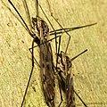 Giant Crane Flies (29480209135).jpg
