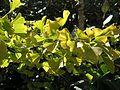 Ginkgo biloba feuilles.jpg
