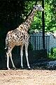 Giraffa camelopardalis rothschildi in ZOO Plock.JPG