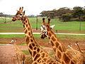 Giraffe@Zirafah (2743998626).jpg