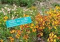 Giroflée des murailles Bailleul jardin botanique.jpg