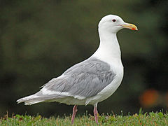 Glaucous-winged Gull RWD1.jpg