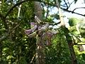 Gliricidia sepium, Spotted Gliricidia, Cheema konna, Seema konna. Flower .jpg