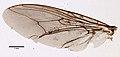 Glossina palpalis (YPM IZ 099617).jpeg