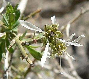 Greasewood - Image: Glossopetalon spinescens var aridum 4