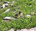 Golden-Mantled Ground Squirrel (Spermophilus lateralis) in Logan Pass - Flickr - Jay Sturner.jpg