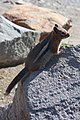 Golden-mantled ground squirrel - 44125872195.jpg