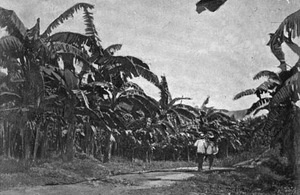 "Boston Fruit Company - Boston Fruit Company's ""Golden Vale"" plantation, Jamaica, ca.1894."