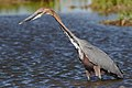 Goliath Heron, Ardea goliath at Marievale Nature Reserve, Gauteng, South Africa (45499622381).jpg