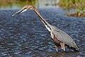 Goliath Heron, Ardea goliath at Marievale Nature Reserve, Gauteng, South Africa (45499622381).jpg