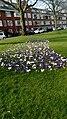 Gorechtkade crocus flowers, Groningen (2020) 03.jpg