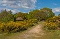 Gorse on Headley Heath, Surrey (Geograph 5380966).jpg