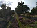 Grüner Heide-Pfad mit Wacholdern.jpg