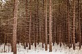 Granton Wisconsin Snowy Forest (31313637863).jpg