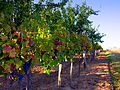 Grapes Ready for Harvest.JPG