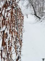 Grapevine In Winter (24861435).jpeg
