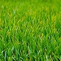 Grass (6905159906).jpg