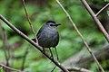 Gray Catbird (7235497924).jpg