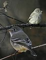 Gray Flycatcher From The Crossley ID Guide Eastern Birds.jpg