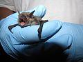 Gray bat (Myotis grisescens).jpg
