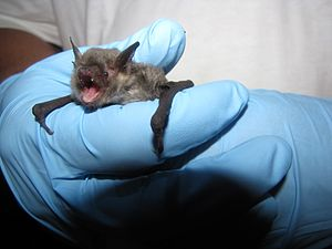 Gray bat - A gray bat caught in Oklahoma in 2013
