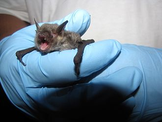 Gray bat - A gray bat caught in Oklahoma in 2013