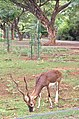 Grazing Blackbuck in India.jpg