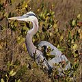 Great Blue Heron-27527-2.jpg